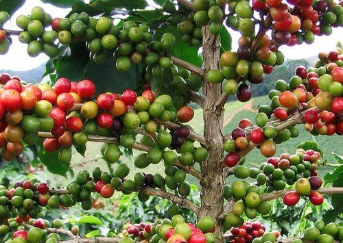 Деревья Арабики